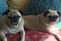 PugsvillePugs / New photos and goings on in Pugsville.NYC