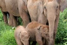 Thailands elephants need to be protected