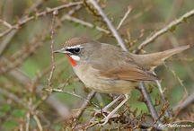 Birds NL