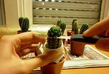 injerto cactus