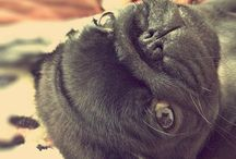 Got Pug?  / For the love of pugs  / by Kim only4thatgirl