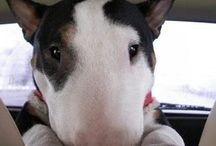 English Bull Terriers / Because if I can't own a Frenchie ... I would love to own one of these beauties!