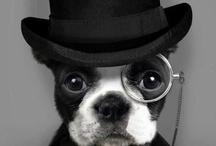 bulldog frances <3