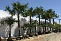 Palm Trees For Atlanta / Yes, it's true! You can have Palms in Atlanta, Georgia! We offer a variety of cold hardy Palms to add to your home garden.