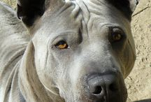 Thai Ridgeback Dog / my wonderful Thai Ridgeback