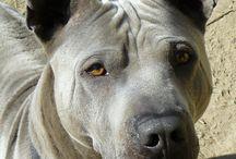 Thai Ridgeback Dog / my wonderful Thai Ridgeback