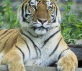 Tiger Education