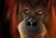 Orangutan 'man from the forest' / There are 2 species Orangutan 1. Pongo Pygmarus (Borneo) 2. Pongo Abelii (Sumatra)  There are 3 sub species from Orangutan Borneo: 1. Pongo pygmaeus pygmaus 2. Pongo pygmaeus morio 3. Pongo pygmaeus warmbi