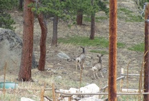 Wildlife at the Wild Basin / As a popular event center adjacent to the Rocky Mountain National Park, we are fortunate to site incredible wildlife on our property! / by Wild Basin Weddings