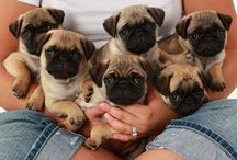 Baby pugs
