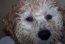 My Bichon Poo, LEXI / by Deanne Clarke-Saunders