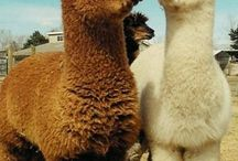 Alpaca Love (& other cuties)