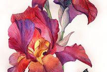 Irisse......
