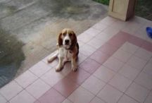 Beagles / All things Beagle