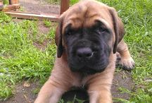 ENGLISH MASTIFF,  my other love ♡