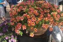 Pack Trials 2015 California / New plants