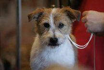 championnat de France de toilettage canin / toilettage canin  concours