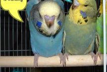 Budgie quotes