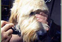 doodle grooming / Golden doodle grooming