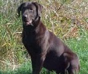 The Ladies of Soggy Acres Retrievers / A collection of photos of current and recent past females in our breeding program.