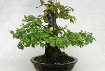 Prunus triloba multiplex bonsai 2013.10.07.