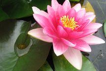 Waterlelies en bloemen