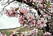 Fin del Invierno / Almendros en flor