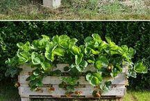 Jahody pěstoání