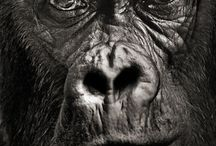 Regard primate singe gorille