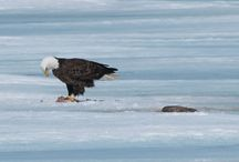 Eagles on Wilson Lake / Eagles cleaning up after fishermen! / by Wilson Lake Inn