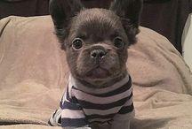 Francia bulldogok/French bulldogs / Aranyos kiskutyák hatalmas mennyiségben, Francia bulldog kedvelőknek.