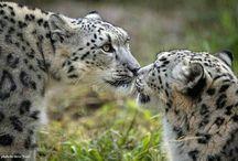 Snow #leopard