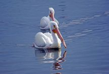 Florida's White Pelicans / Best Places to See White Pelicans