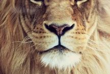 One of the Big Five (LION) / A lion/lioness orientated board because their my favourite animal...