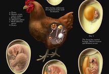 Le vilain petit poulet
