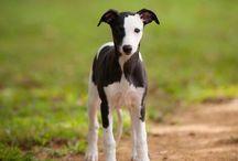 Greyhound puppies