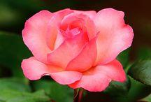 Rose&Flowers