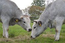 GASCONNE / cattle