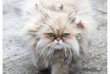 Persian cats and maine coon
