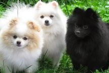 Cachorros