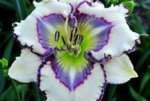 Lilie, liliowce, irysy