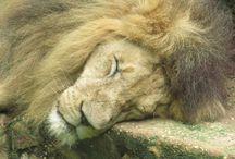 Leo - Parque Zoobotânico de Teresina