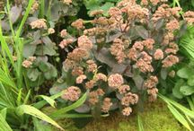 Sedum & Succulents & Spurge / Gardening with Sedum & Other Succulents - a large genus of flowering plants in the family Crassulaceae / by Christine Sinclair
