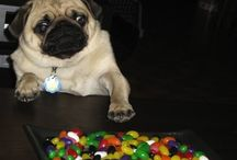Pugs with jellybeans