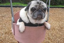 Pugs in playgrounds