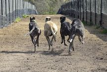 Greyt Expectations / End Greyhound Racing / by Greyhound Rescue Austin