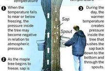 Sap flow in trees