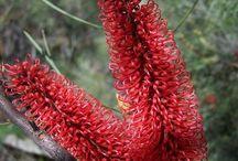 West Australian native shrubs / Some favourite Australian native shrubs
