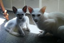 A. Siamese Cat called Imhotep and his brother Neo
