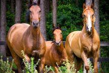 Animals   ( Horses )